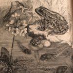 Teichfrosch aus dem alten Brehm