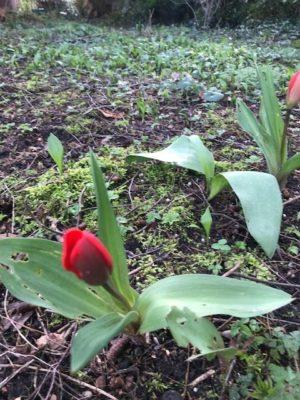 erste Tulpen im März